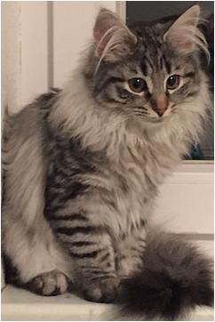Lyn_norwegische_Waldkatzen