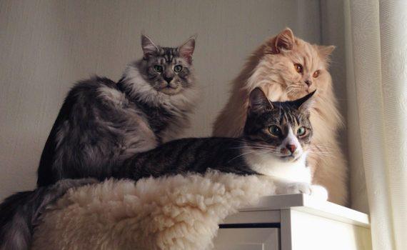 Minzekatzen-Gastkatzen