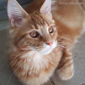 Mycooniecats -Louie